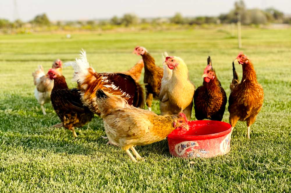 Chickens Eating from a pot at Farms in Uae